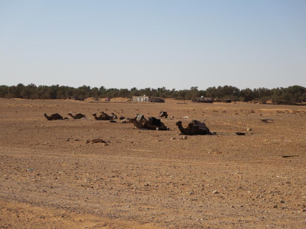 a entrada no oásis KSAR GHILANE , muitos camelos : transporte+leite+carne = animal imprescindível nos oásis !