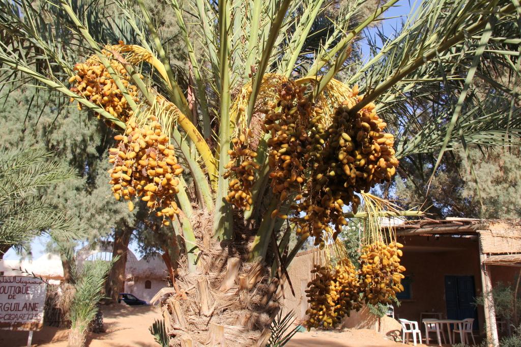 as tâmaras que crescem nas palmeiras são muitas vezes um dos raros meios de subsistência dos habitantes dos oásis