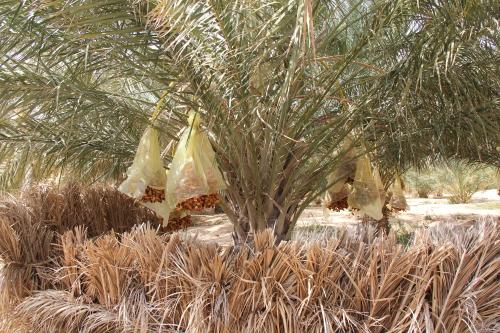 são cobertas aquando do amadurecimento por estes sacos de plástico para evitarem ser molhadas por alguma chuva ocasional , o que faria com que apodrecessem