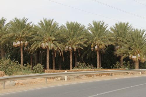 há oásis com largos kms de palmeirais