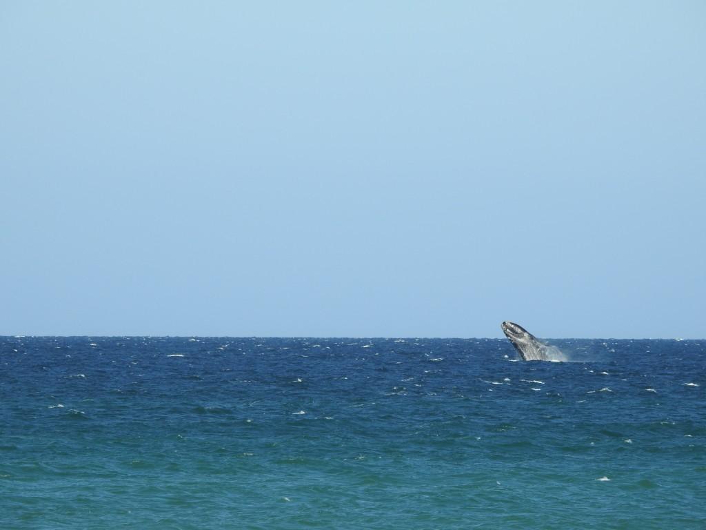 no espaço de dia e meio , teremos avistado para cima de 200 baleias ....