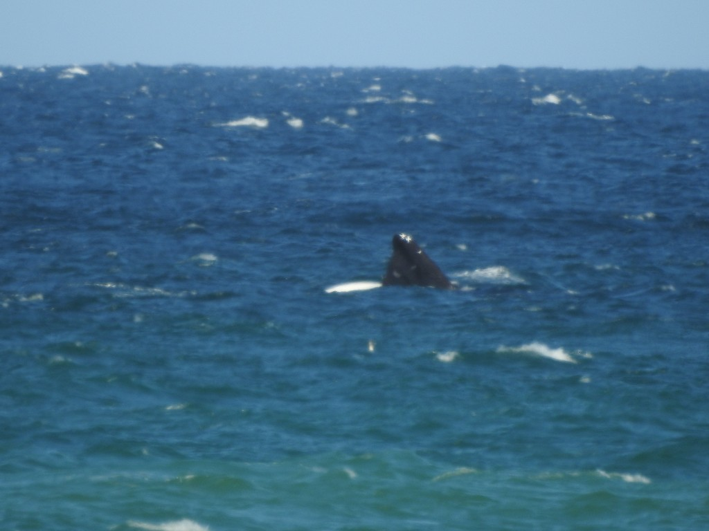 são extremamente rápidas a sair da água para efectuarem o salto e consequente ''chapão''