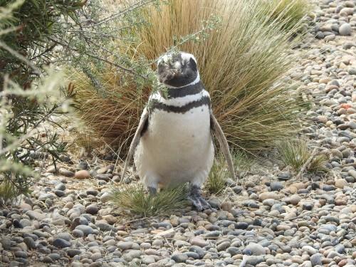 há imensas variedades de pinguins , os maiores e mais imponentes são os pinguins da Antártida , estes são os chamados PINGUINS DE MAGALHÃES