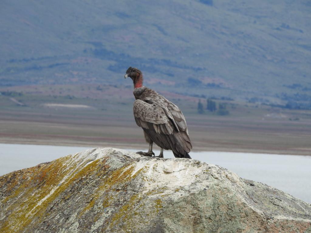 uma imponente águia , ficámos meia hora a admirá-la a cerca de 40 metros !