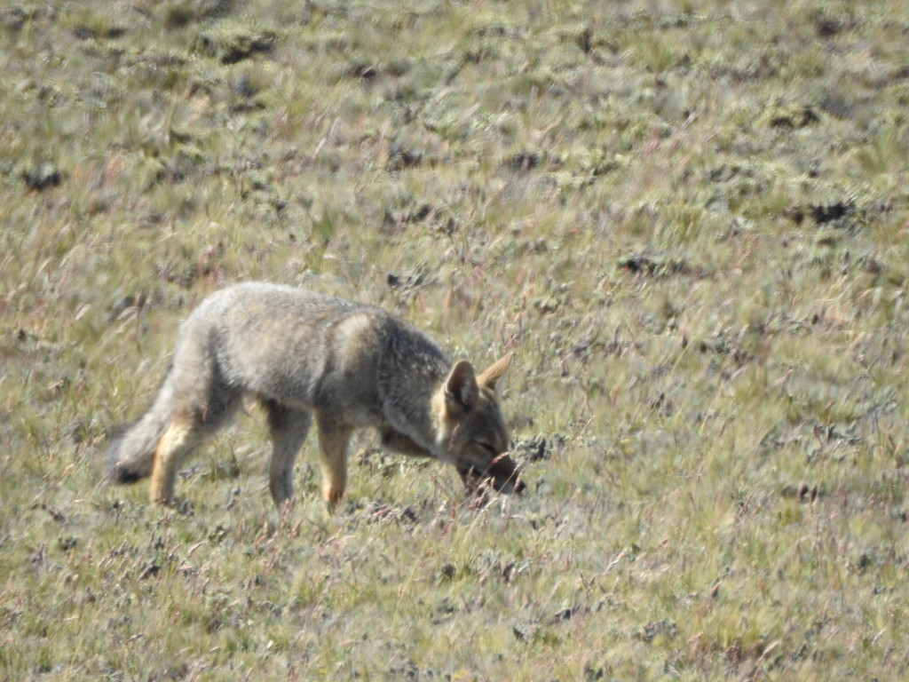 já tivemos o privilégio de ver mais de 20 raposas....