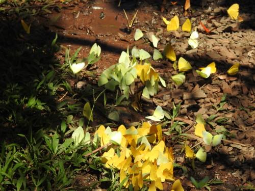 não são flores .....são milhares de borboletas amarelas !!!