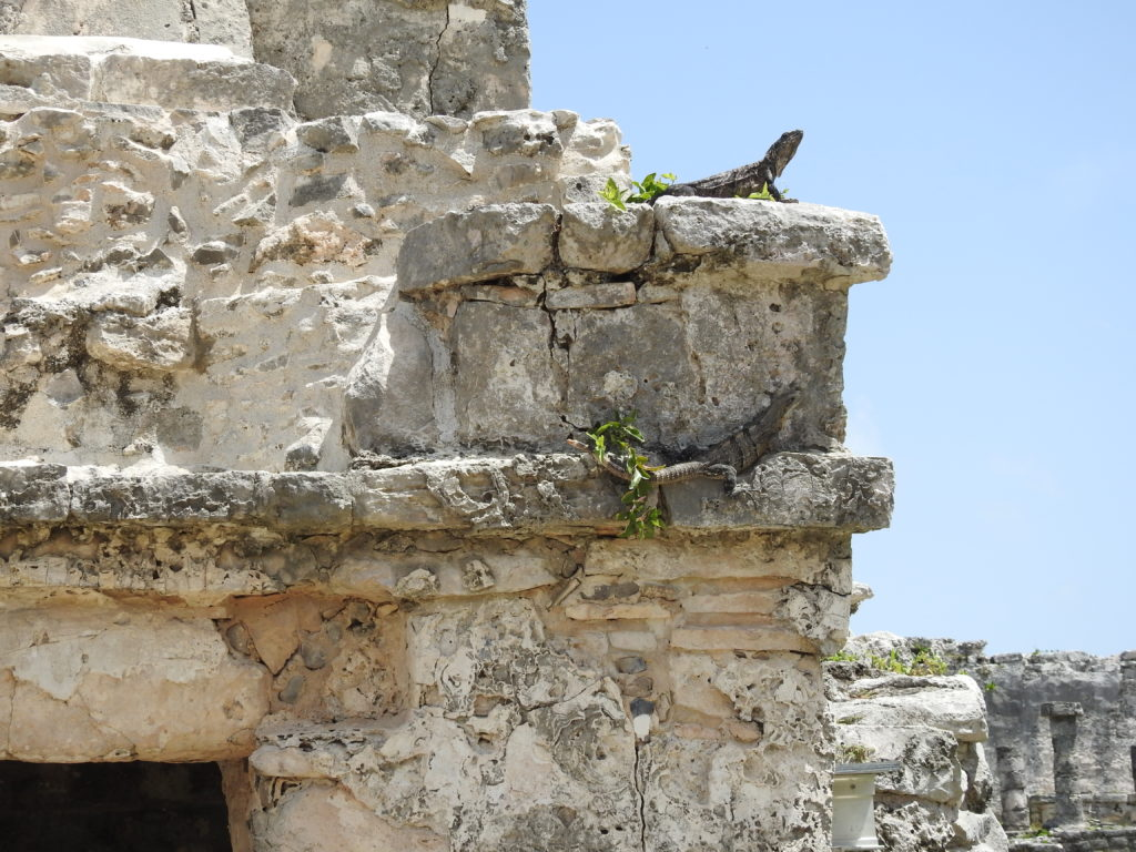 por todo o parque arqueológico podem-se ver largas centenas de inofensivas IGUANAS .....